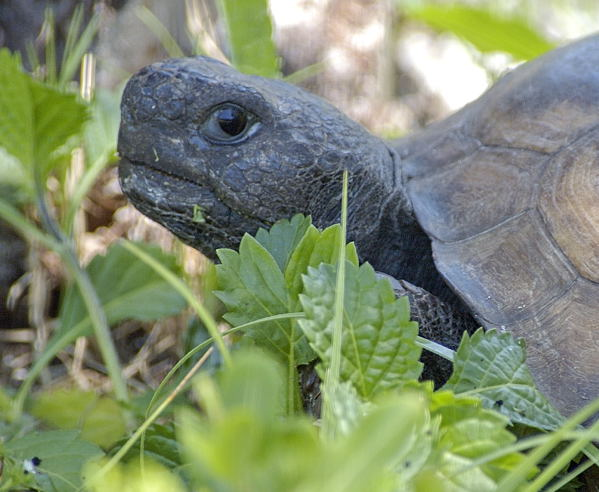 Gopher tortoise snacks on a leafy lunch