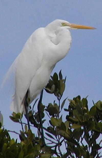 A great egret perches in the treetops.