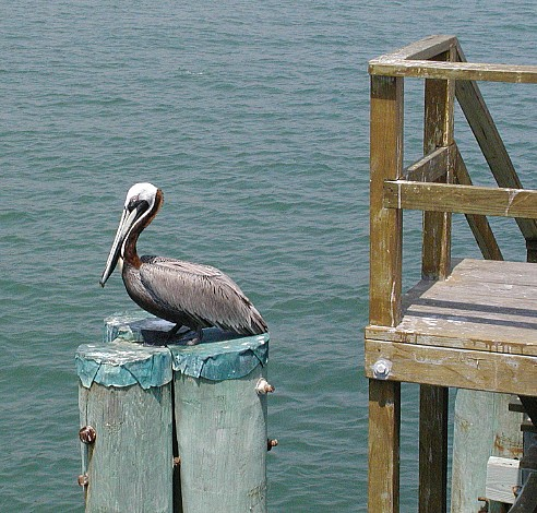 Pelican watches the action