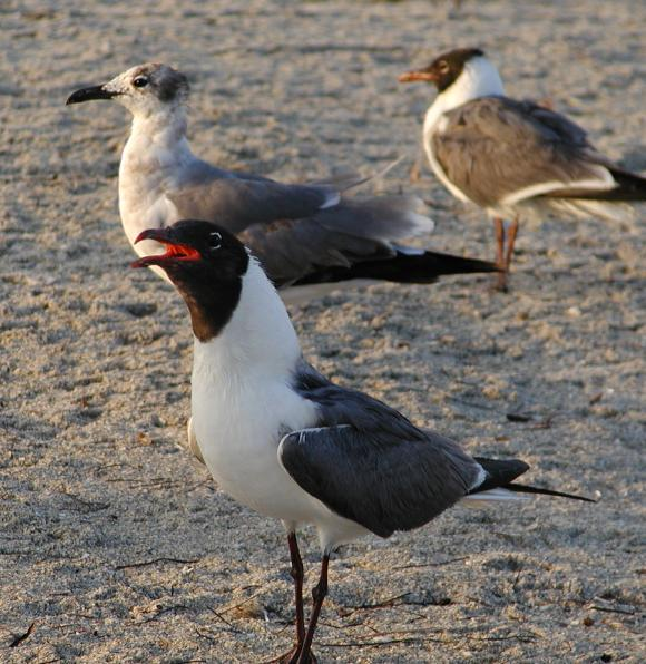 Laughing gull proves his name.